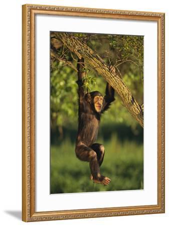 Chimpanzee-DLILLC-Framed Photographic Print