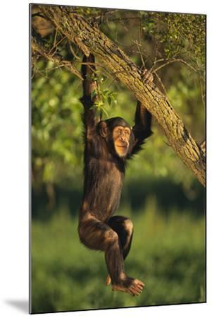 Chimpanzee-DLILLC-Mounted Photographic Print