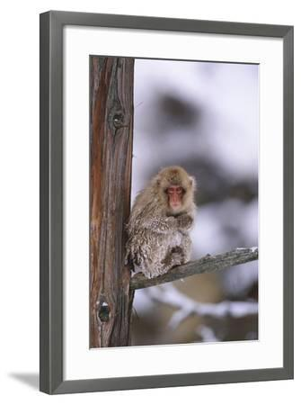 Japanese Macaque-DLILLC-Framed Photographic Print