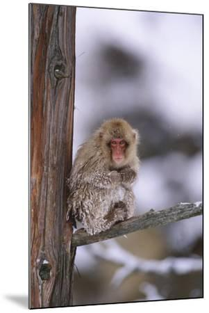 Japanese Macaque-DLILLC-Mounted Photographic Print