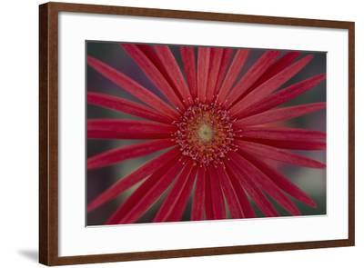 African Daisy-DLILLC-Framed Photographic Print