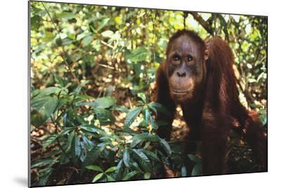 Orangutan-DLILLC-Mounted Photographic Print