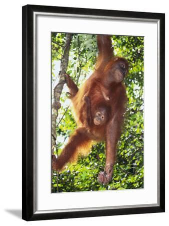 Orangutan and Baby Swinging in the Trees-DLILLC-Framed Photographic Print