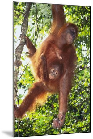 Orangutan and Baby Swinging in the Trees-DLILLC-Mounted Photographic Print