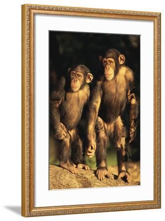 Chimpanzees-DLILLC-Framed Photographic Print