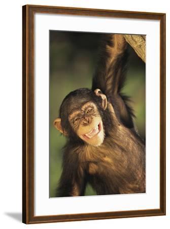 Happy Chimpanzee-DLILLC-Framed Photographic Print