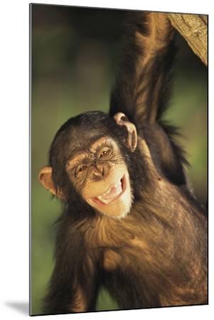 Happy Chimpanzee-DLILLC-Mounted Photographic Print