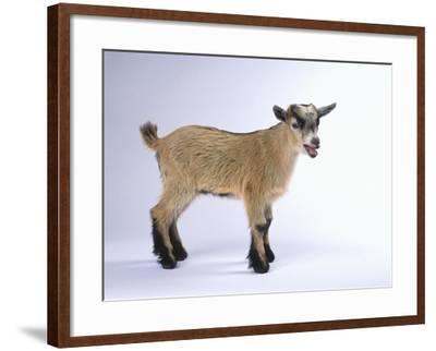 Pygmy Goat-DLILLC-Framed Photographic Print