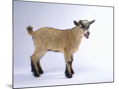 Pygmy Goat-DLILLC-Mounted Photographic Print