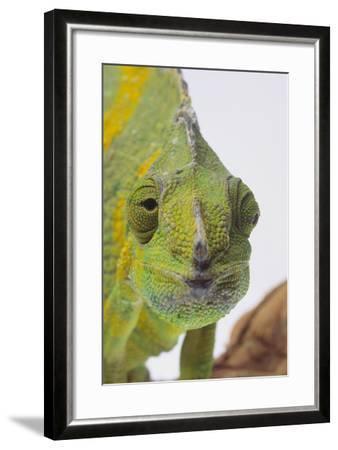 Meller's Chameleon-DLILLC-Framed Photographic Print