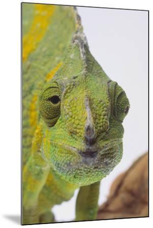 Meller's Chameleon-DLILLC-Mounted Photographic Print