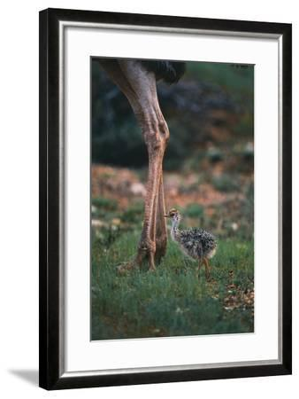 Ostrich Chick with Parent-DLILLC-Framed Photographic Print