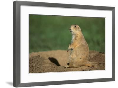 Black-Tailed Prairie Dog-DLILLC-Framed Photographic Print