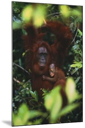 Female Orangutan with Baby-DLILLC-Mounted Photographic Print