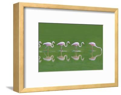 Flamingoes-DLILLC-Framed Photographic Print