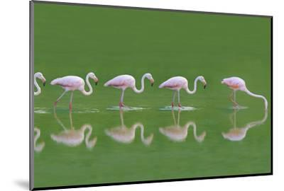 Flamingoes-DLILLC-Mounted Photographic Print