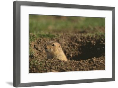 Black-Tailed Prairie Dog Peeking out of Den-DLILLC-Framed Photographic Print