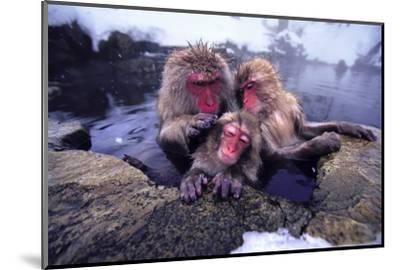 Japanese Macaques in Hot Spring-DLILLC-Mounted Photographic Print