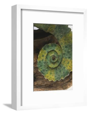 Chameleon Tail-DLILLC-Framed Photographic Print
