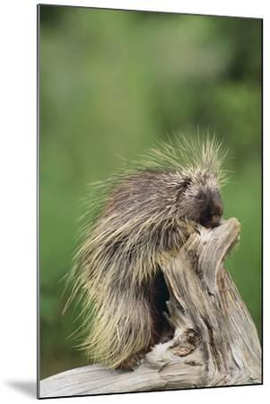 Porcupine-DLILLC-Mounted Photographic Print
