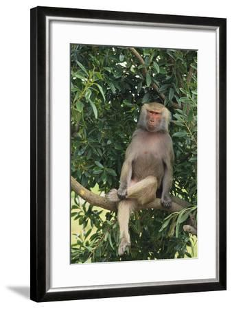 Hamadryas Baboon-DLILLC-Framed Photographic Print