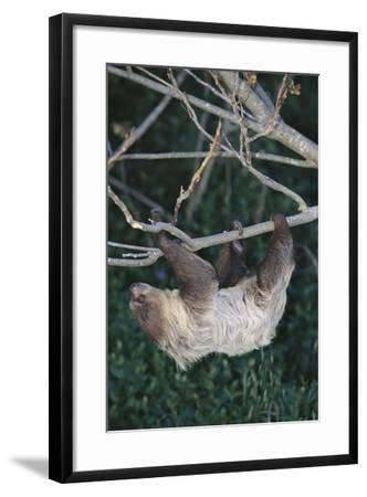 Two-Toed Tree Sloth Hanging from Tree-DLILLC-Framed Photographic Print