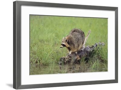 Raccoon-DLILLC-Framed Photographic Print