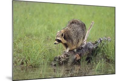 Raccoon-DLILLC-Mounted Photographic Print
