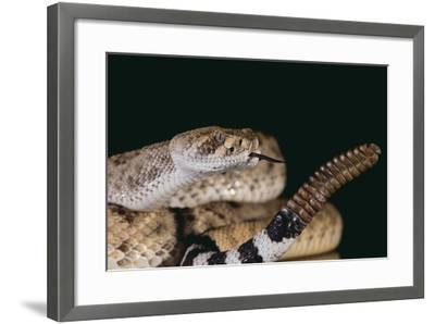 Western Diamondback Rattlesnake-DLILLC-Framed Photographic Print