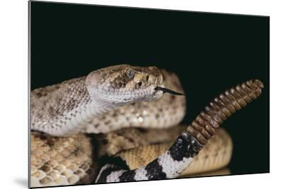 Western Diamondback Rattlesnake-DLILLC-Mounted Photographic Print