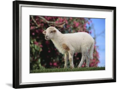 Whitefaced Lamb in the Pasture-DLILLC-Framed Photographic Print