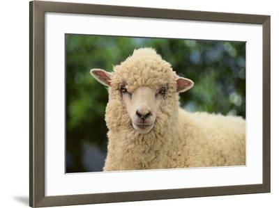Whitefaced Sheep-DLILLC-Framed Photographic Print
