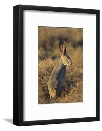Alert Jackrabbit-DLILLC-Framed Photographic Print