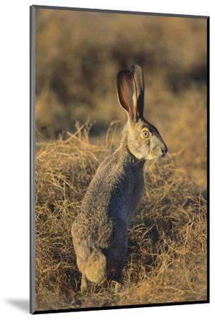 Alert Jackrabbit-DLILLC-Mounted Photographic Print
