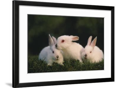 Three White Rabbits-DLILLC-Framed Photographic Print