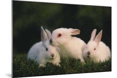 Three White Rabbits-DLILLC-Mounted Photographic Print