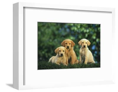 Yellow Lab Puppies-DLILLC-Framed Photographic Print