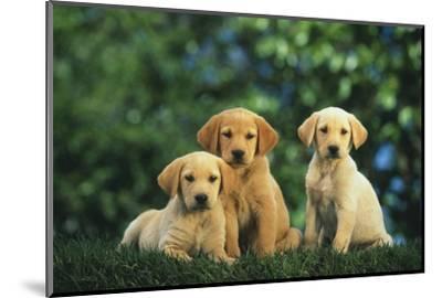 Yellow Lab Puppies-DLILLC-Mounted Photographic Print