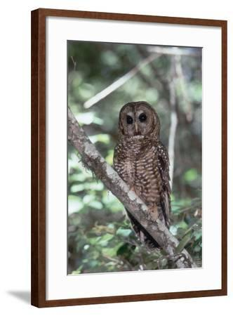 Northern Spotted Owl-DLILLC-Framed Photographic Print