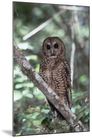 Northern Spotted Owl-DLILLC-Mounted Photographic Print