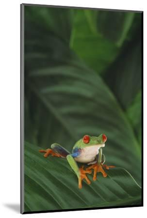 Red-Eyed Tree Frog on Leaf-DLILLC-Mounted Photographic Print