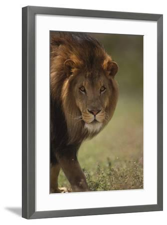 Male Lion-DLILLC-Framed Photographic Print