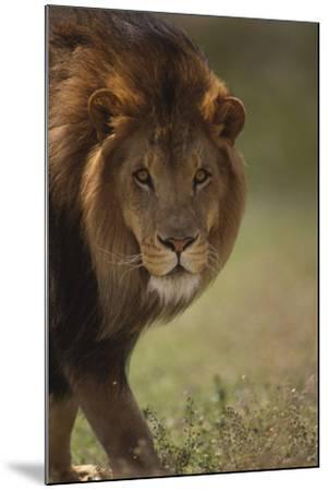 Male Lion-DLILLC-Mounted Photographic Print