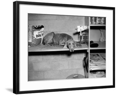 Dog Sits on a Shelf at Shelter in Oakland, California, Ca. 1963.-Kirn Vintage Stock-Framed Photographic Print