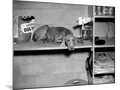 Dog Sits on a Shelf at Shelter in Oakland, California, Ca. 1963.-Kirn Vintage Stock-Mounted Photographic Print