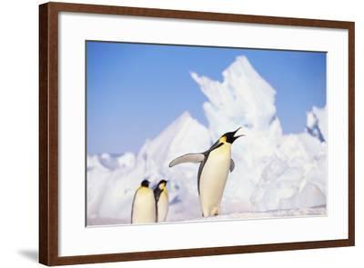 Emperor Penguin Calling-DLILLC-Framed Photographic Print