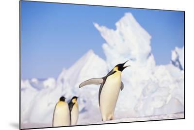 Emperor Penguin Calling-DLILLC-Mounted Photographic Print