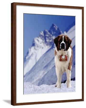 St. Bernard Dog with Barrel around Neck-DLILLC-Framed Photographic Print