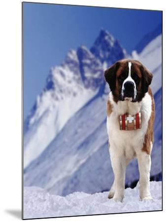 St. Bernard Dog with Barrel around Neck-DLILLC-Mounted Photographic Print
