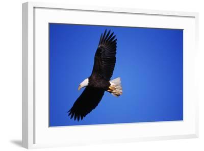 Bald Eagle Hunts, Nova Scotia-Paul Souders-Framed Photographic Print